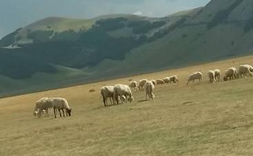 pecore-castelluccio